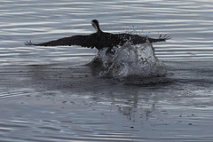 Splash Symmetry (armct) Tags: pied cormorant phalacrocorax varius creek calm splash splashdown wake symmetry wing feather flex aileron landing currumbincreek rorschach test inkblot morning deceleration impact glide fly