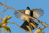 Willie Wagtail : Arriving in style! (Derek Midgley) Tags: dsc06762 rhipiduraleucophrys willie wagtail np