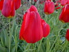 2018-04-19-13772 (vale 83) Tags: tulip nokia n8 friends coloursplosion colourartaward