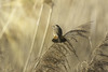 Bluethroat morning sun reeds_w_0152 (Daly Wildlife) Tags: bluethroat lusciniasvecica thrushes wetlands reeds lakes freshwater
