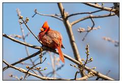 Can this be Springtime in St Louis? (JohnKuriyan) Tags: stlouis missouri unitedstates us northern cardinal botanical garden