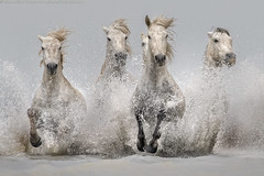 Emotions in Camargue (Alberto Ghizzi Panizza) Tags: horses white water run spray france camargue ghizzi panizza