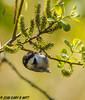 Black-capped Chickadee (orencobirder) Tags: smallbirds flickrexport chickadees birds
