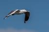Silver Gull (Chroicocephalus novaehollandiae)-2.jpg (irsacae) Tags: swanriver wetland pointperon water flying shore sandbar ocean flight bird shorebird woodmanpoint rocks jetty oceanbird swamp sea