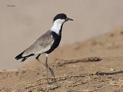 Spur-Winged Lapwing (Plover) (featherweight2009) Tags: spurwingedlapwingplover vanellusspinosus lapwings plovers wadingbirds shorebirds birds africa