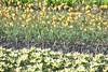 DSC04614 (derek_2001) Tags: tulips noordwijk holland bollenveld field
