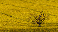 Black and yellow (Jean-Luc Peluchon) Tags: fz1000 lumix jaune yellow charente champ field rural campaign campagne arbre tree printemps spring color couleur colza fleur flower graphic nature texture rape rapeseed
