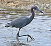 F_042218k (Eric C. Reuter) Tags: birds birding nature wildlife nj forsythe refuge nwr oceanville brigantine april 2018 042218