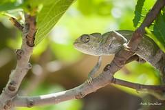 Camaleón en su habitat (morlokiano) Tags: fauna animales naturaleza reptiles