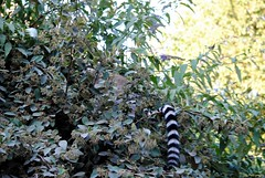 Pairi Daiza 3_2018_07_14_(40) (Juergen__S) Tags: belgium belgien belgique brugelette pairidaiza park panda pelican animals jousting feeding lemur african dance dancers tiger portrait