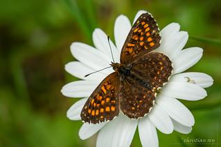 Le papillon sur la marguerite