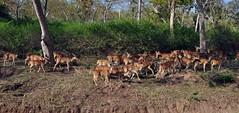 DSC_0748 (rajashekarhk) Tags: spotteddeerherd nikon nature naturephotography natural wildlife wild karnataka kabinitigerreserve forest animal green greenery india travel tourism travalphotography rajashekar hkr