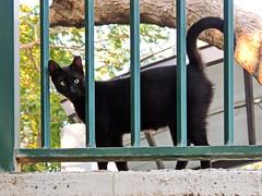 Strabismus (markb120) Tags: strabismus squint fence cat grapnel grappling gib grapple pussycat black dark sable ebon smutty eye optic orb animalfauna