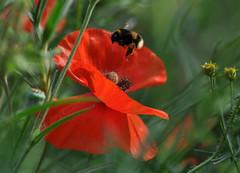 Incoming bee (katy1279) Tags: beeflowerswildflowerspoppysummer
