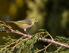 Silvereye Zosterops lateralis Timaliidae (Mykel46) Tags: silvereye birds nature wildlife bokeh background blur sony a7r3 a7rmk3 150600mm sigma sport outside outdoors outdoor