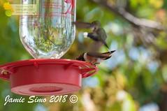 Rufous Hummingbird and Broad-tailed Hummingbird (ironekilz) Tags: chatfieldstatepark