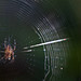 Spider in my Garden