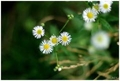flowers (Alex Chirila) Tags: canon eos m10 mm ef 50mm f18 stm flowers macro