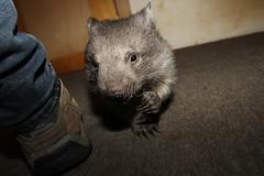 Waffles (Caleb McElrea) Tags: cradlemountain cradlemountainlakestclairnationalpark southwestwildernessworldheritagearea unesco tasmania australia wombatjoey commonwombat vombatusursinus