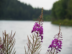 Fireweed on the Bow (Daveography.ca) Tags: fireweed plant river alberta water calgary thebowriver park canada bowriver weed