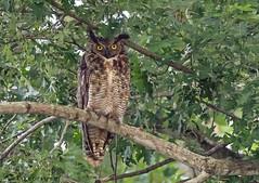 Great Horned Owl. (Estrada77) Tags: greathornedowl raptors birdsofprey distinguishedraptors owl birds birding wildlife foxriver kanecounty outdoors nikon nikond500200500mm summer2018 aug2018