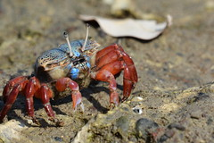 Fiddler Crab @ Khor Kalba, Sharjah , UAE (Ma3eN) Tags: fiddler crab khorkalba sharjah uae 2018