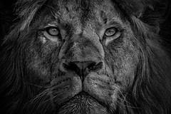 König der Tiere (Roman Achrainer) Tags: löwe raubtier natur tier tierpark hellabrunn achrainer
