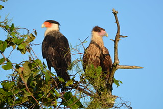 CRESTED CARACARA, ADULT AND JUVENILE