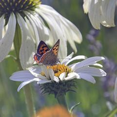 Butterfly on Flower in Sweden August 12 2018 (T Söderlund) Tags: flower sweden swedennature sverige butterfly macro fjäril gunnebo trädgård sommar summer 2018 august