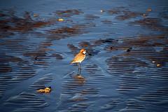 Red-capped Plover Charadrius ruficapillus (Paul Threlfall) Tags: redcappedplover charadriusruficapillus townbeach exmouth wa westernaustralia northwestcape bird beach reflections