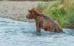 Another Wet Bear (endrunner) Tags: dsc0166s cropped handheldcamera