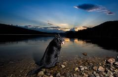 Enjoying The View (kristentande) Tags: groenendael belgian shepherd dog lake water sunset blackwolf
