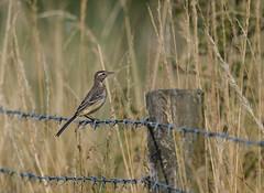 Yellow Wagtail Juvs RSPB 21-07-2018-1827 (seandarcy2) Tags: birds wildlife marshland lincolnshire uk wagtails yellow juveniles