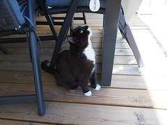 What's that up there? (vanstaffs) Tags: tussi tuzz tuxedocat t tux tusse tutu tuzz® myprettyliltuxedogirl