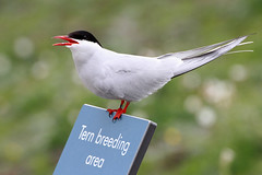 A (s)Tern warning (Troonafish) Tags: isleofmay fife scotland scottish scottishwildlife wildlifeinscotland sea seabird seabirds seabirdcolony sealife flying flight fly birds bird birdwatching birdspotting birdlife ornithology nature naturalbeauty natural naturephotography wildlife wildlifephotography wild wildanimal wildbird animalplanet animal animals coast colony coastal coastline 2018 bigma sigma sigma50500mm 50500mm canon canon7d 7d gavintroon gavtroon tern arctictern terncolony ternbreedingarea terns arcticterns