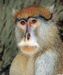 Pattas monkey Barcelona JN6A3594 (j.a.kok) Tags: animal aap mammal monkey zoogdier dier barcelona huzaaraap pattasmonkey africa afrika primate primaat