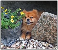 Animals - Dogs - Pomeranian - Chico, the Happy Dog. (Bill E2011) Tags: animals dogs pomeranian spitz poland canon queenvictoria pet pets domestic companion