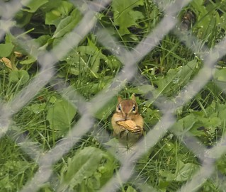 Little Chippie-Looking Through The Fence-HFF