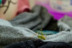 bug (MobyRichard) Tags: dead grasshopper rip insect laundry socks thelastshart smcpentaxm50mmf17