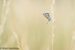 Common blue (Matt Hazleton) Tags: wildlife nature outdoor animal canoneos7dmk2 canon matthazleton matthazphoto eos 7dmk2 commonblue butterfly insect polyommatusicarus canon100mm 100mm macro summerleys bcnwildlifetrust northamptonshire
