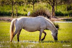 caballo de la Camarga (Sanmi Fotografía) Tags: caballos camarga francia animales naturaleza nature naturephotography naturephotographer