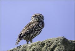 Seeing Eye to Eye (Charles Connor) Tags: littleowl owls raptors predators birdsofprey birdphotography birds naturephotography nature featherdetail feathers plumage canondslr