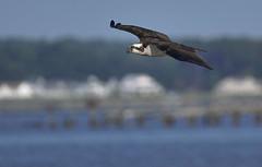 _A734990 (bram-sowers) Tags: sonyfe2470gm sonyfe100400mmgm sonya7riii warsawvirginia rappahannockriver eagle osprey tycho chez