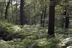 (turquoise monkey) Tags: revueflexsd1 kodakportra iso160 takumar55mmf18 dehogeveluwe gelderland netherlands forest ferns trees