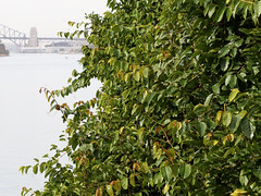 Kangaroo Vine (Cissus antarctica) (Poytr) Tags: cissus cissusantarctica vitaceae huntershill sydneyrainforest sydneyaustralia nsw arfcp arfp nswrfp qrfp vrfp sydneyharbourbridge paddock thegoatpaddock kangaroovine watervine sky