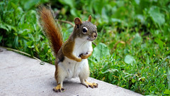 American Red Squirrel (Tamiaciurus hudsonicus), Hartley Nature Center - Duluth MN USA, 07/22/18 (TonyM1956) Tags: elements americanredsquirrel tamiaciurushudsonicus hartleynaturecenter duluth nature squirrel tonymitchell minnesota stlouiscounty sonyalphadslr sonyphotographing