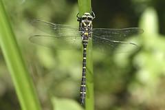 Golden Ringed Dragonfly (Kentish Plumber) Tags: goldenringeddragonfly insect cordulegasterboltonii wildlife nature black yellow legs eye wings thorax body abdomen hairy