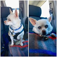 Weekend adventures of Miss Lily Belle (A Wild Western Heart) Tags: cane chien canine hond hund perro adoptdon'tshop rescuedog livetoride chihuahua billiebiscuit misslilybelle