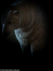 Paula. Turner Contemporary (Peter MacCallum-Stewart) Tags: turnercontemporary paula polarbear margate