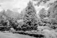 Mostly Conifers - Infrared Image (Neal3K) Tags: fayettevillega fayettecounty kolarivisionmodifiedcamera infraredcamera ir